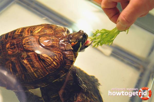 Где кормить красноухую черепаху