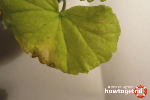 Что делать, если у герани желтеют листья