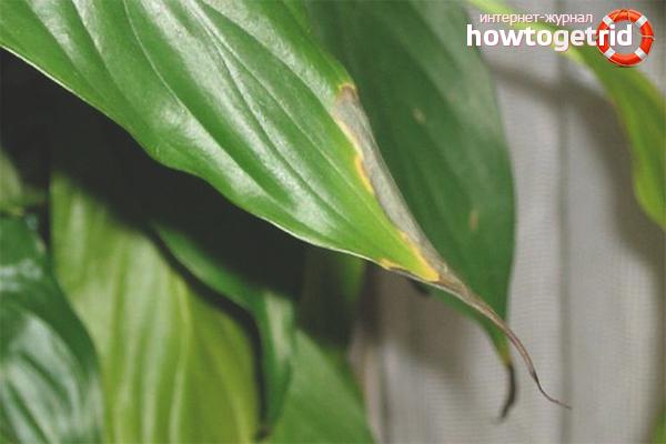 Что делать, если у спатифиллума желтеют листья