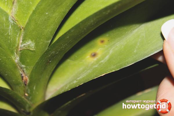 Что делать если желтеют листья у орхидеи