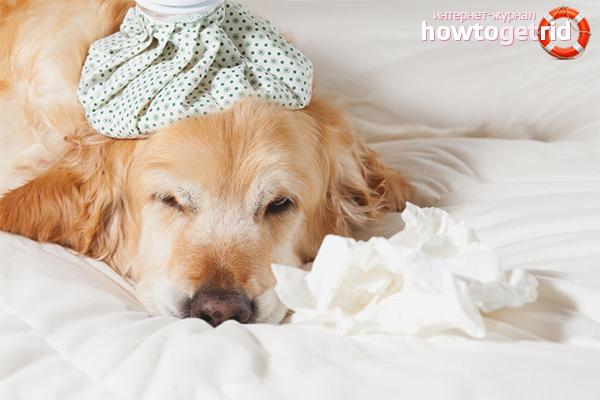Как лечить кашель у собаки в домашних условиях