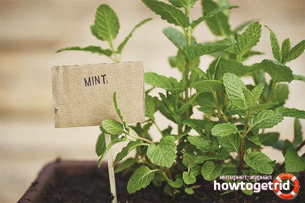 Как вырастить мяту на подоконнике: 3 способа