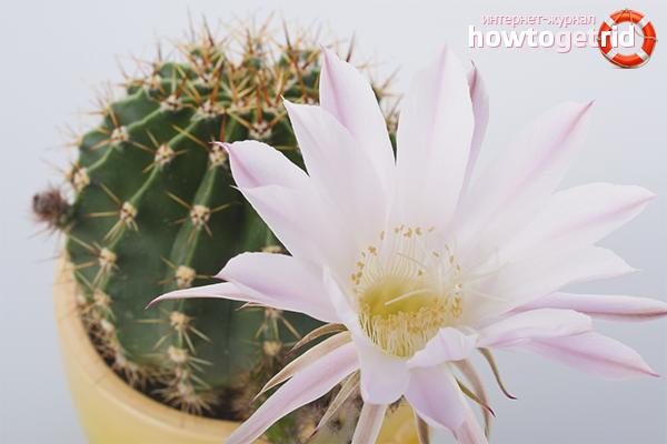 Как заставить цвести кактусы