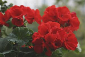 Почему не цветет комнатная герань