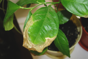 Почему желтеют листья у лимонов