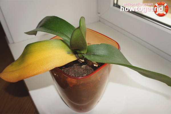 Почему желтеют листья у орхидей