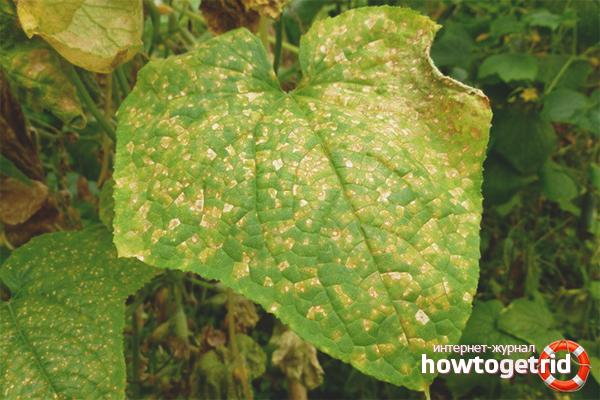 Желтые листья огурцов от болезней