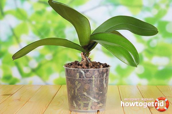 Почему не цветет орхидея, а растут только листья?