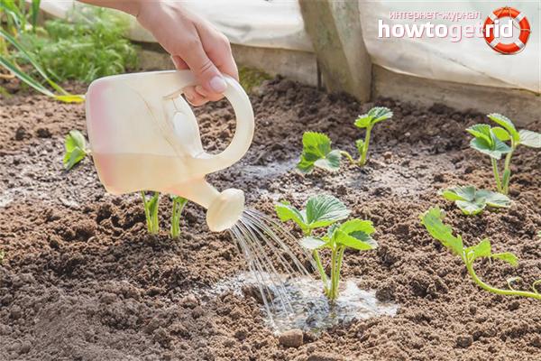 Как подготовить почву для посадки клубники