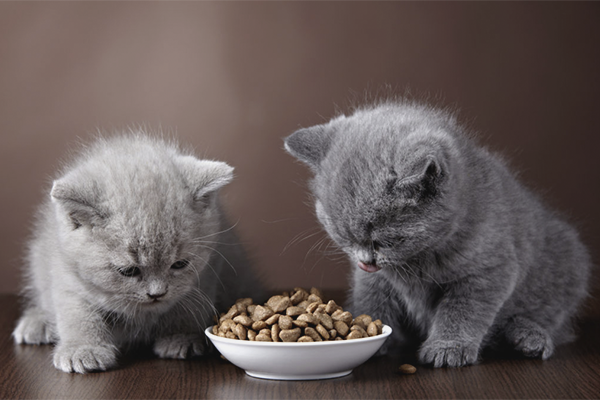 Как приучить котёнка к сухому корму
