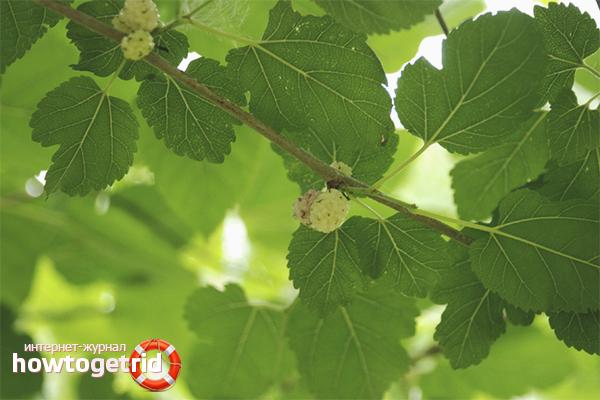 Польза листьев шелковицы