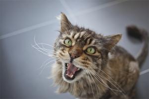 Почему кошка постоянно мяукает и орет