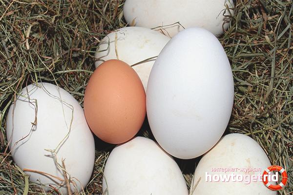 Выбор и хранения гусиных яиц