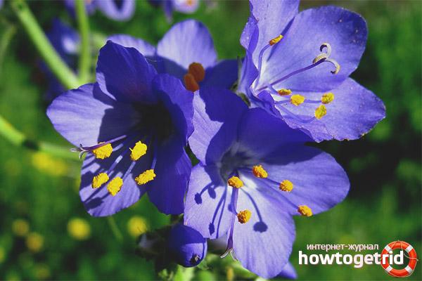 Какие полезные вещества содержит синюха голубая