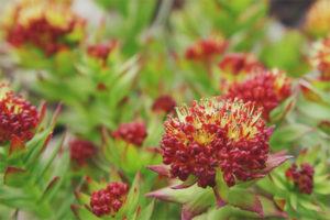 Лечебные свойства и противопоказания родиолы розовой