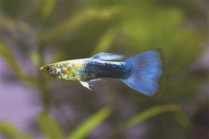 Как ухаживать за рыбками гуппи в аквариуме