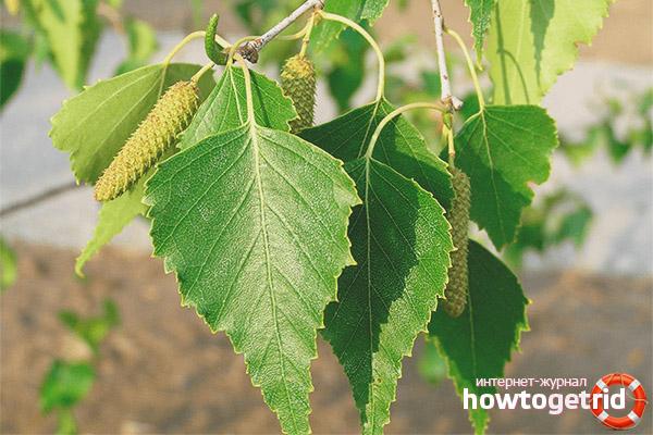 Лечебные свойства и противопоказания листьев березы