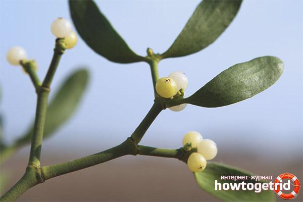 Лечебные свойства и противопоказания омелы белой