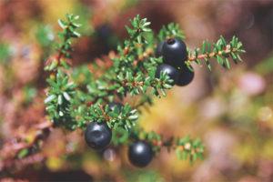 Лечебные свойства и противопоказания шикши
