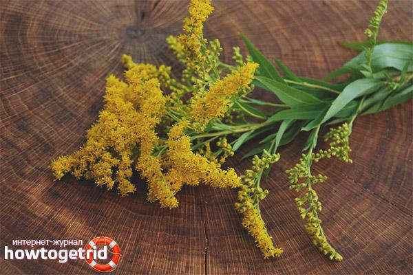 Лечебные свойства и противопоказания золотой розги