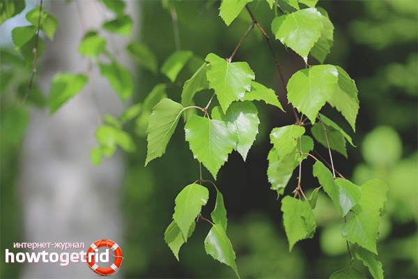 Применение березовых листьев