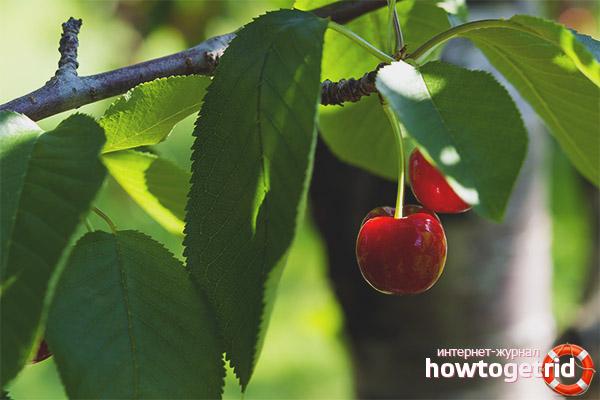 Рецепты из листьев вишни