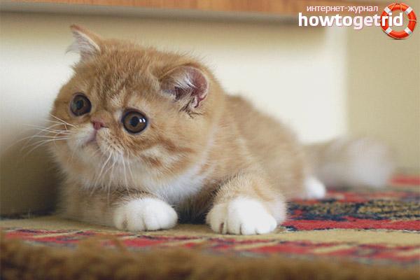 Болезни экзотической короткошерстной кошки
