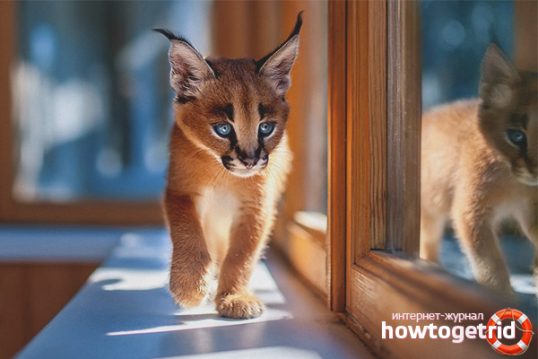 Где купить котенка каракала