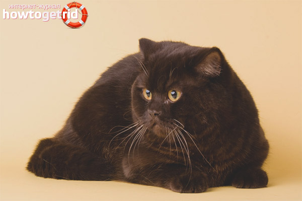 Характер йоркской шоколадной кошки