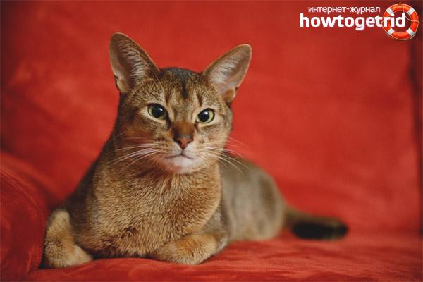 Характер кошек чаузи