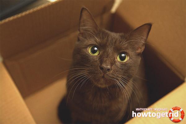 Характер породы кошек гавана