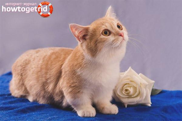 Характер породы кошек манчкин