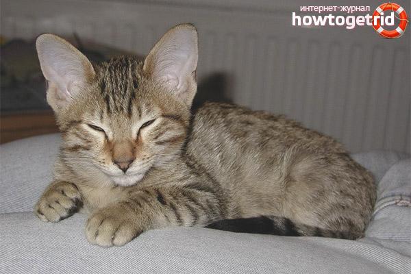 Характер породы кошки канаани