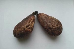 Лечебные свойства и применение струи бобра