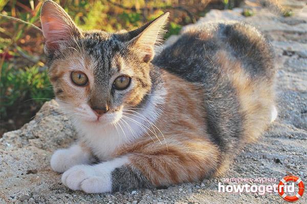 Непризнанные стандарты эгейской кошки