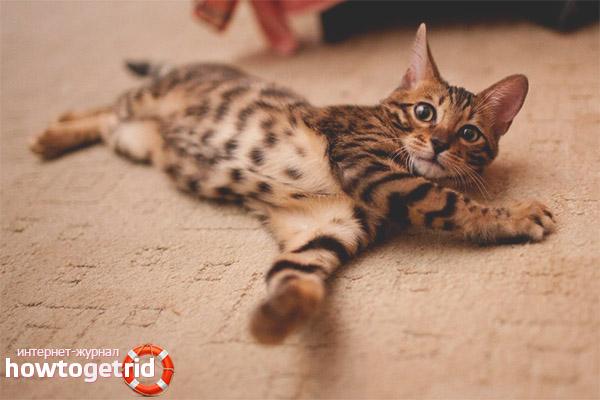 Окрас породы кошки канаани