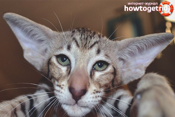 Окрасы ориентальной кошки