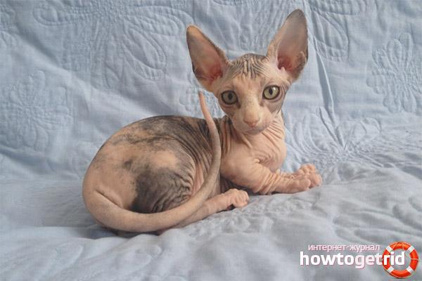 Описание породы кошек бамбино