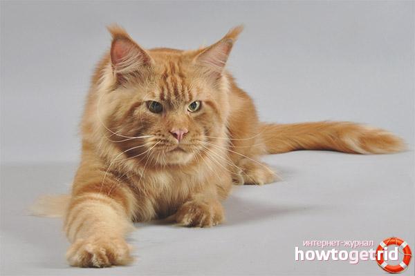 Описание породы кошки мейн-кун