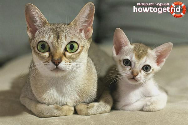 Описание породы сингапурских кошек