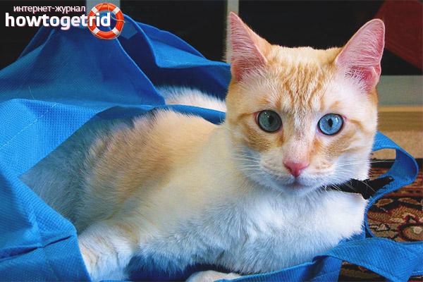 Особенности содержания породы кошек охос азулес