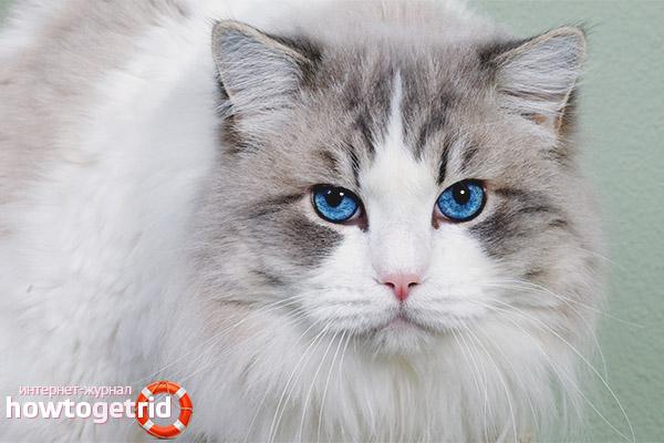 Особенности здоровья породы кошек охос азулес