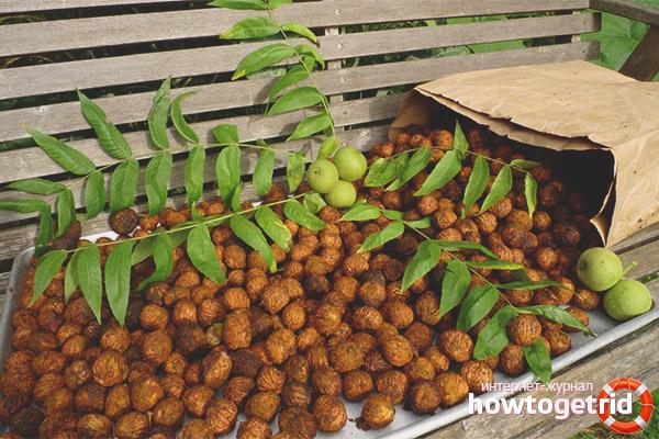 Противопоказания маньчжурского ореха