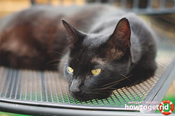 Уход и особенности содержания кошек гавана