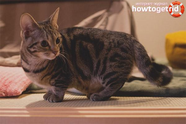 Внешние данные породы кошек манчкин