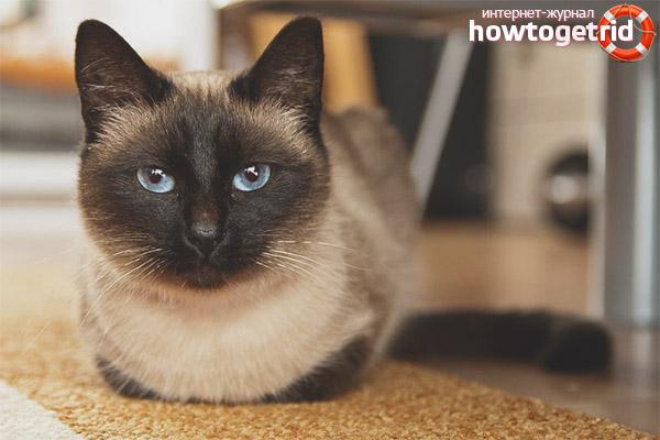 Заболевания кошек породы сиамская