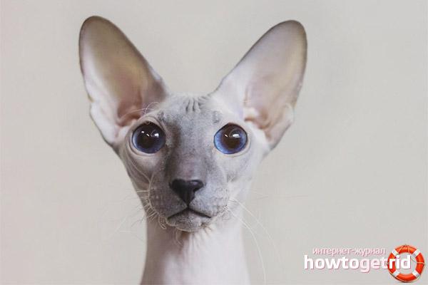 Петербургские сфинксы кошки акне лечение лазерная эпиляция феодосия