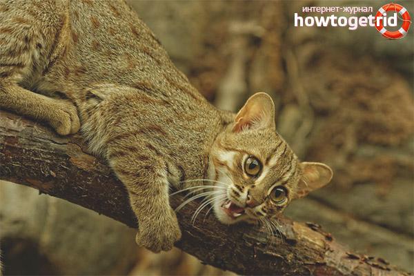Жизненный уклад ржавой кошки