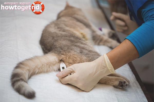 Измерение температуры у кошки