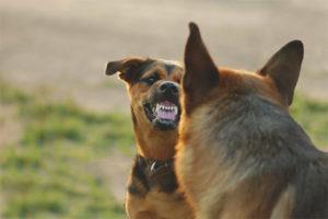 Как отучить собаку бросаться на других собак